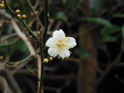 早咲きの梅.jpg